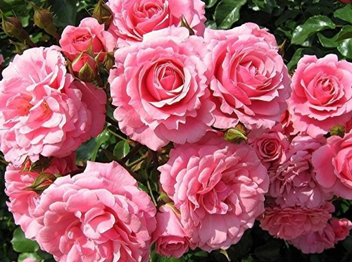 роза в духах
